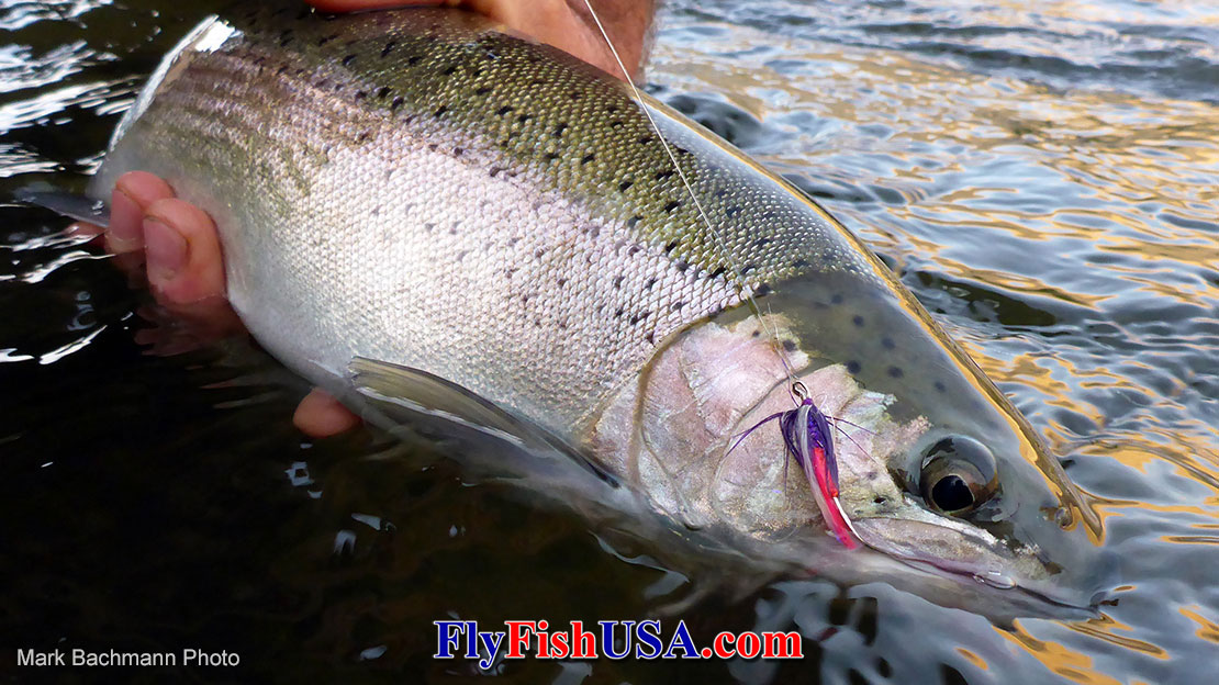 This Deschutes River, Oregon steelhead fell for a Rick's Revenge fly.