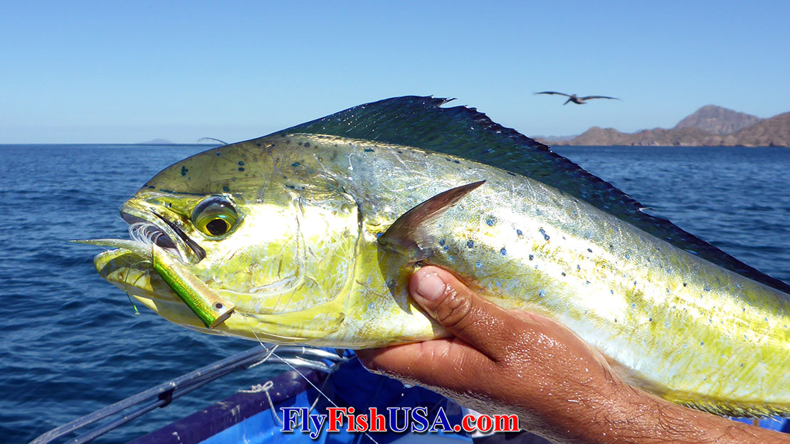 Picture of a Dorado caught on a Crease Fly.