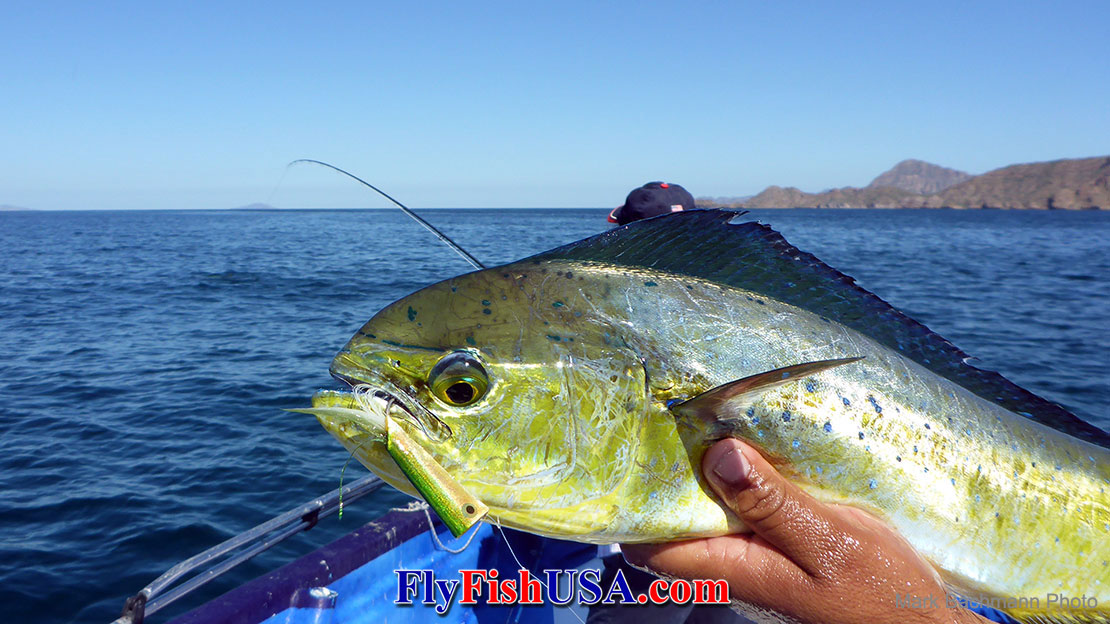 Picture of a Dorado fish caught on a Crease fly.