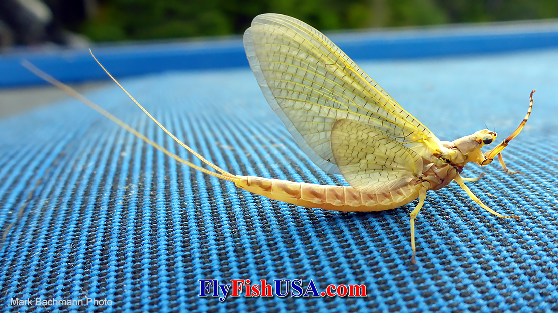 Hex Mayfly Hatches in the Pacific Northwest