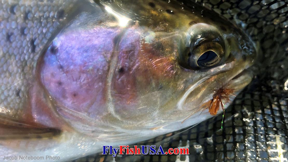 Quigley's Midget Caddis caught this trout.