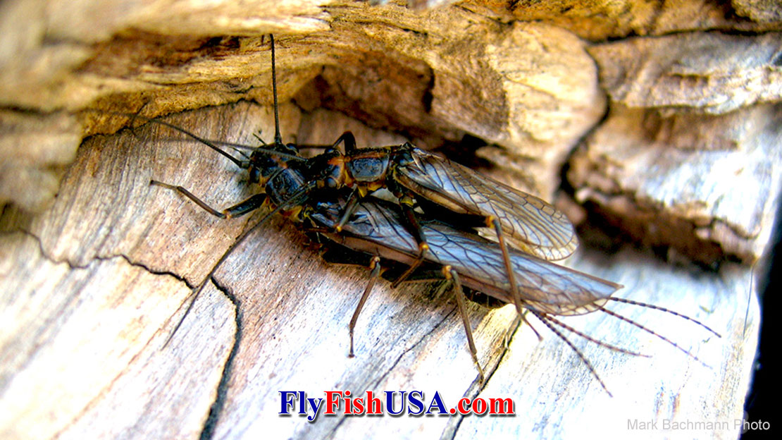 Mating, just one of the Stonefly's Life Cycle