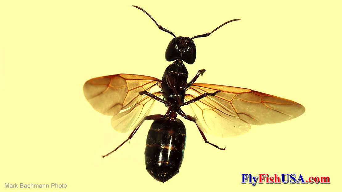 A winged carpenter ant queen.
