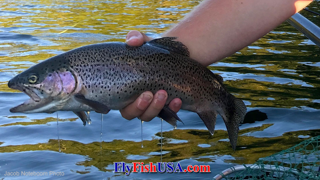 This trout caught from an alpine lake was feeding on winged ants.