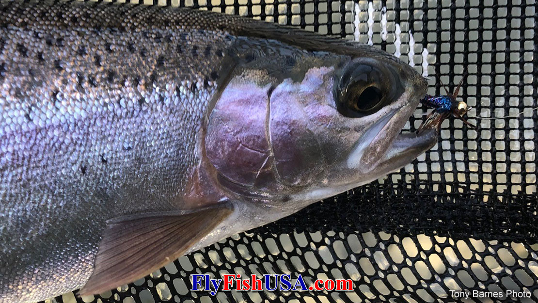 Picture of  a Deschutes River Redband trout with a Bead Head Batman Nymph in its mouth.