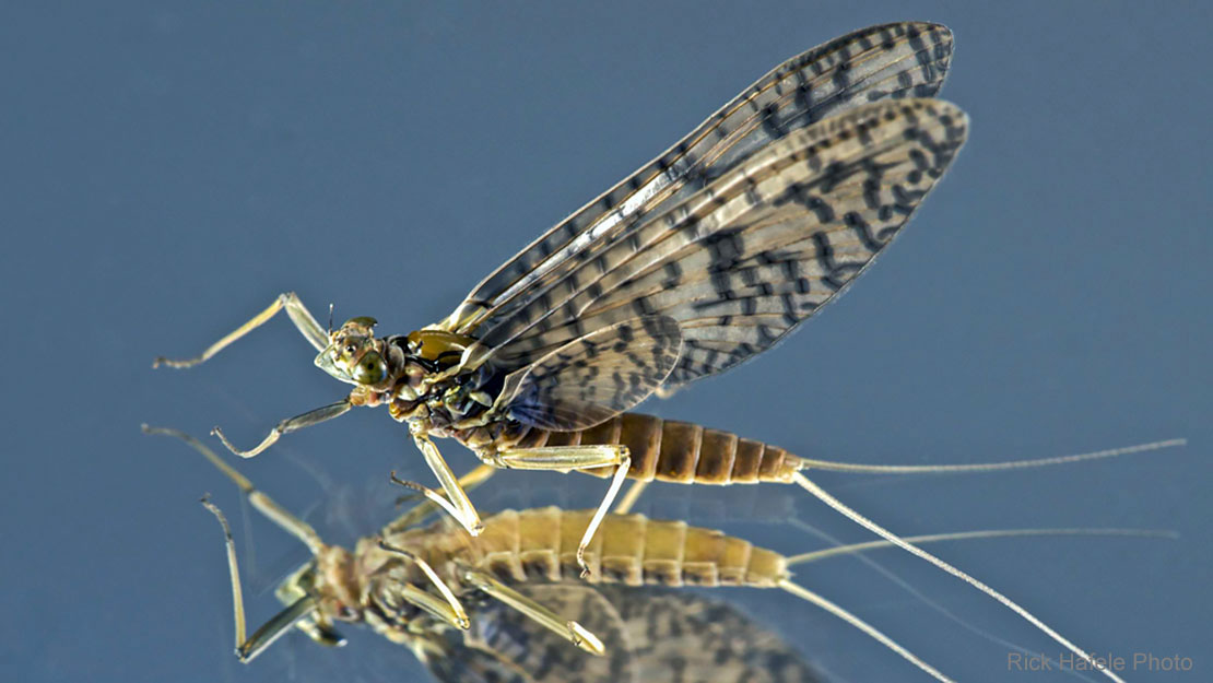 Western March Brown Mayfly Hatches
