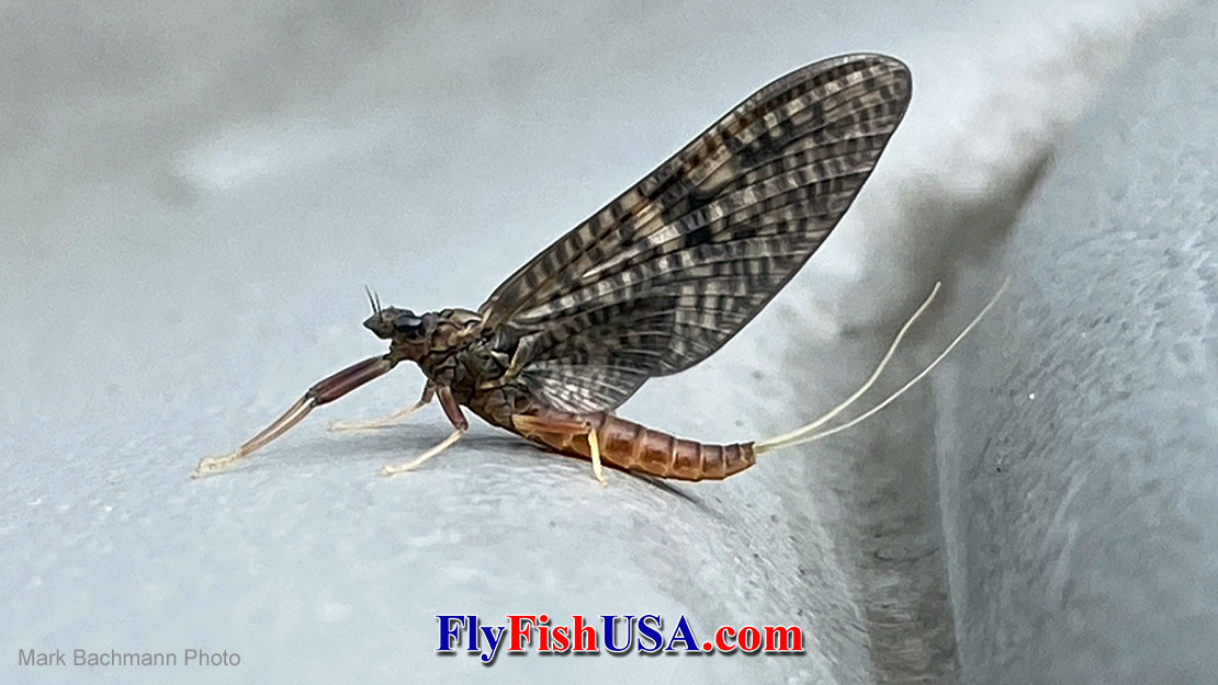 March Brown Mayflies