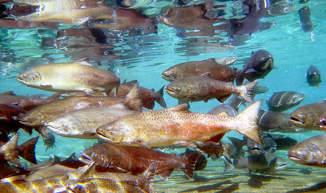 picture, schooling Chinook salmon