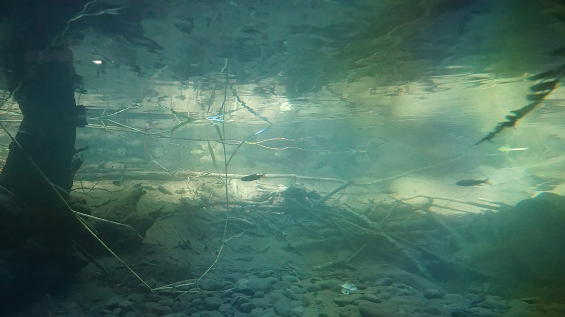 Several young steelhead patrol the pool in front of the glass barrier in the viewing chamber in Cascade Stream Watch in Oregon.